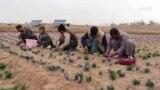هرات امسال ۱۲ تن زعفران تولید خواهد کرد