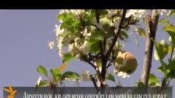 Две весны одной груши