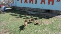 Львиный прайд в крымском сафари-парке (видео)