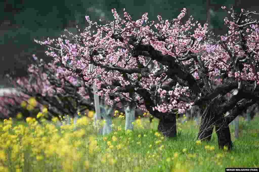 Цветущие персиковые сады в селе Терновка