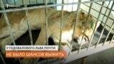 Жители Иркутска спасли льва