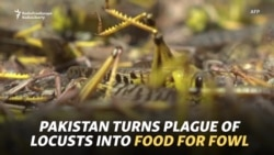 Pakistan Turns Plague Of Locusts Into Food For Fowl