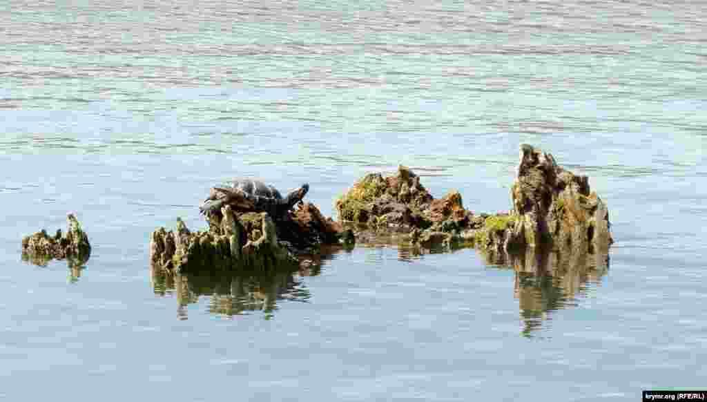 А черепаха, видимо, просто греется под солнцем на старой коряге посредине водоема