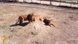 У кримському сафарі-парку леви ділять територію