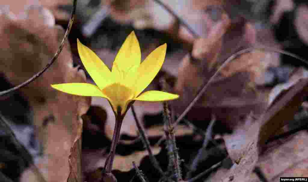 В южных полянах урочища появились первые золотистые шафраны. Обычно они распускаются в конце февраля, предвещая скорый приход весны. Растение занесено в Красную книгу Украины