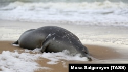 The exact cause of the deaths of scores of Caspian seals is still unknown.