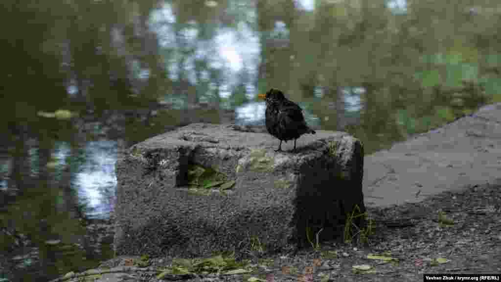 Желтоклювый дрозд отдыхает в тени возле пруда