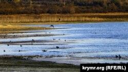 Альминское водохранилище: птицы на обмелевших берегах (фотогалерея)