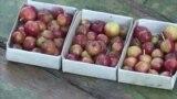 Яблоки Якутия (видео)