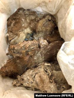 Едно од праисториските животни откриено зачувано во мраз во Јакутск