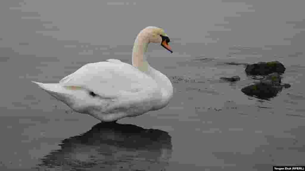 Лебедь – грациозная птица