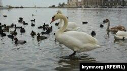 Лебеди в Севастополе, 9 декабря 2020