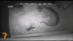 У Лондонському зоопарку народилося перше тигреня за 17 років