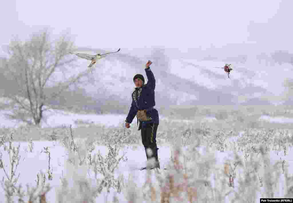 Мисливець змушує сокола-балобана ловити «здобич» – мертвого голуба на мотузці
