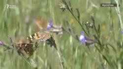 В Центральной Азии необычное нашествие бабочек-репейниц