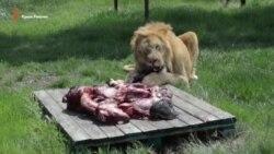 Годування левів