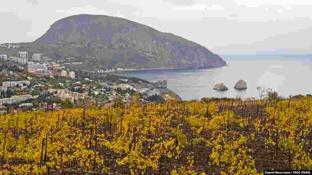 Виноградник «Массандра» в районе Гурзуфа, на втором плане – гора Аю-Даг