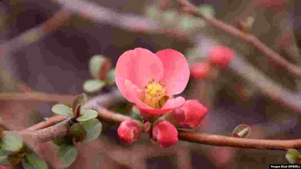 У Севастополі цвіте хеномелес – айва японська