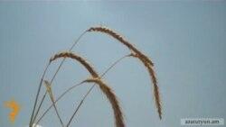 Հայաստանը ցորեն արտադրող երկիր կդառնա՞
