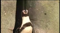 Депрессивных британских пингвинов посадили на таблетки