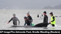 عملیات برای نجات ده ها نهنگ در استرالیا