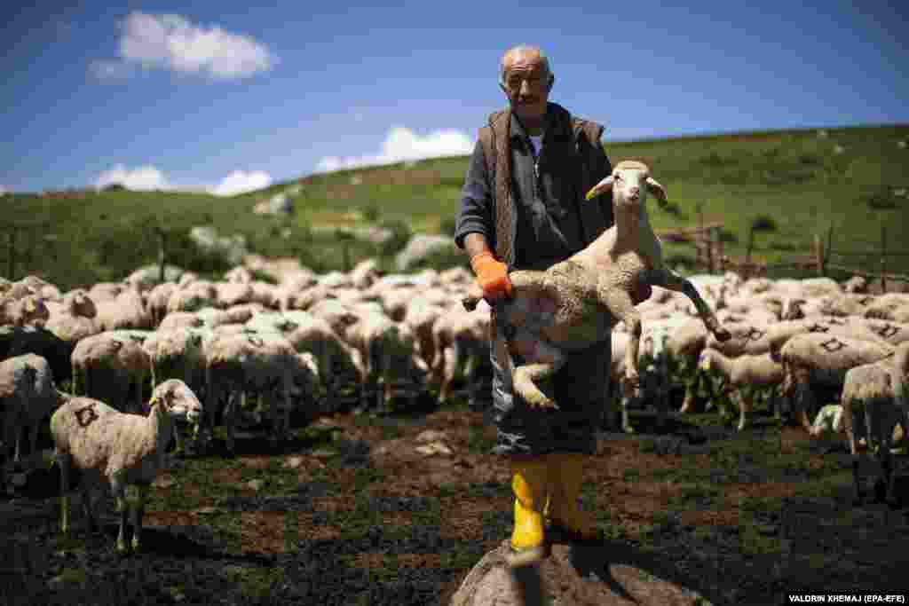 Shepherd Bajram Balje tends to one of his flock.