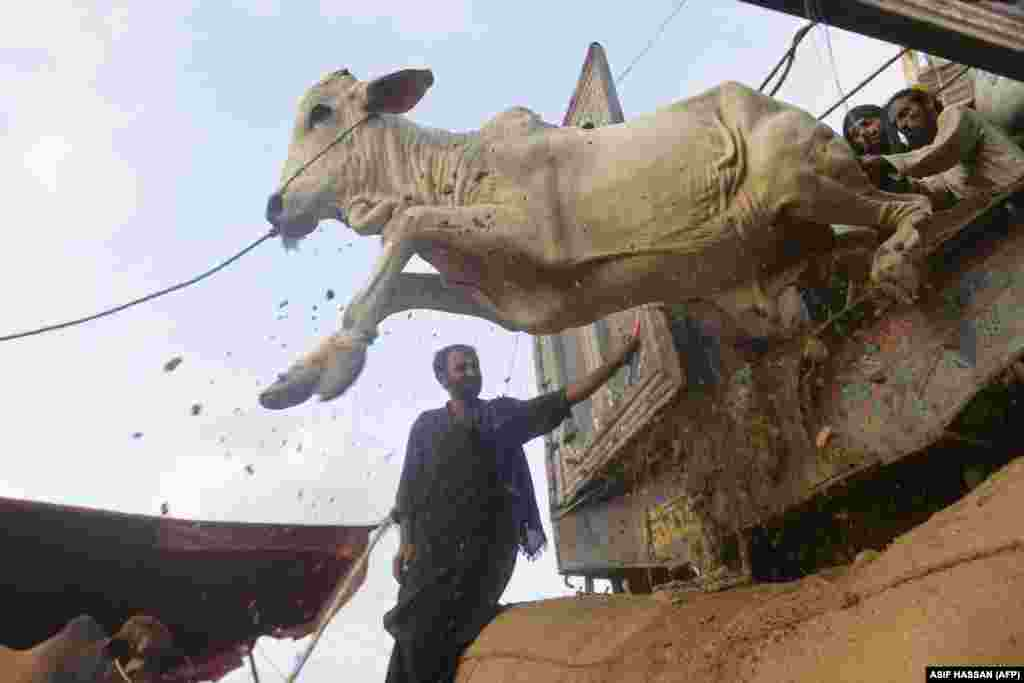 Tregtarët shkarkojnë kafshët nga një kamion, teksa bëhen gati për festën e Kurban Bajramit, që shënohet këtë muaj. Karaçi, Pakistan, 6 korrik.