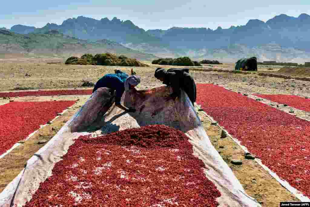 Avganistanski poljoprivrednici u polju suše na suncu seme nara u Kandaharu (AFP/Javed Tanveer)