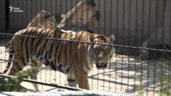 Тигри екс-міністра, лев-«мажор» і ведмідь-артист: як живуть хижаки в центрі реабілітації (відео)