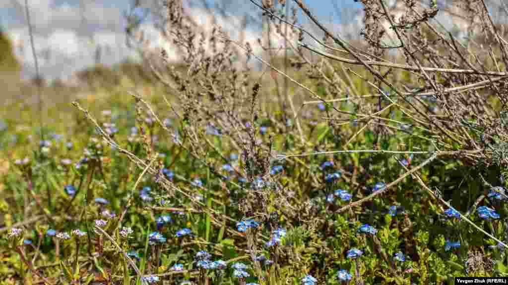 Незабудка дрібноквіткова блакитним килимом вкрила невелику галявину