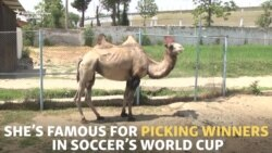 Soothsaying Tajik Camel Picks World Cup Champion