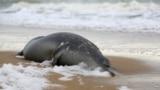 A dead Caspian seal washed ashore the Caspian Sea