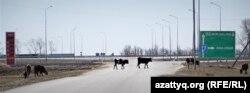 Коровы на дороге при въезде в село Приречное. Акмолинская область, 21 апреля 2021 года.