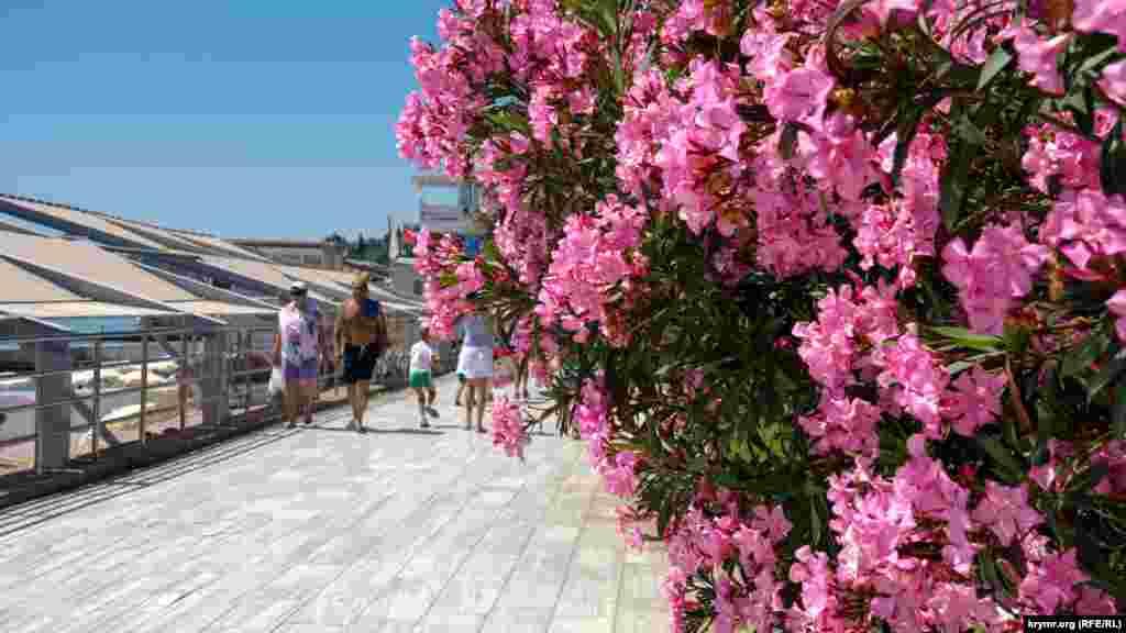 Квітучий рододендрон на набережній Гурзуфа
