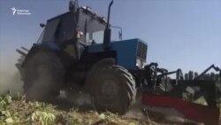 Талас: төө буурчак жыйнаган трактор