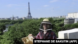Nicolas Geant méhész Párizs ikonikus helyszínein méhészkedik. Itt épp a híres párizsi kiállítási csarnok, a Grand Palais tetején látható, de vannak méhkaptárjai a Notre Dame-on is, amik a csodával határos módon túlélték a 2019-es tűzvészt is.
