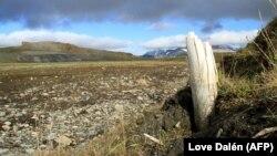 Egy gyapjas mamut agyara áll ki a földből a szibériai Wrangel-szigeten. A fotót a Nature magazin közölte eredetileg.