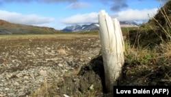 95 процентов территории Якутии — вечная мерзлота, и по мере ее таяния регионом интересуется всё больше международных исследователей, которые стремятся изучить останки мамонта и других древних животных