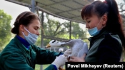 Kazakh zookeepers vaccinate a goose at a zoo in Almaty in September.