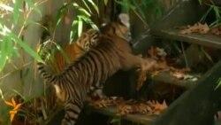Публічний дебют суматранських тигренят у зоопарку у Вашингтоні