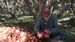 د کندهار انار د نباتي ناروغیو له امله د بازار سيالي نشي کولای