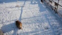 Парк левів «Тайган» взимку