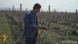 Գյուղացիները պայքարում են իրենց խաղողի այգիների քանդման դեմ