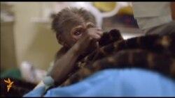 Gorilla çagasynyň saglygy gowulaşýar