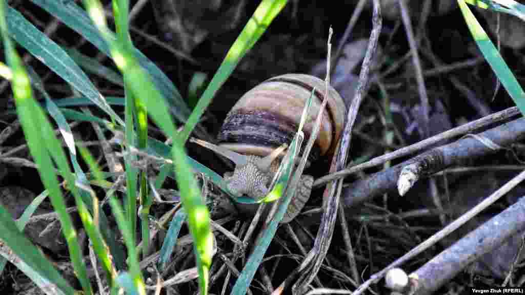 Крізь траву та сухе гілля пробирається виноградний равлик, який прокинувся від зимової сплячки