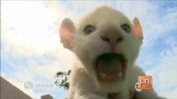 В Бразилии впервые родился детеныш белого льва