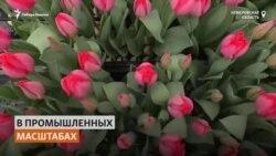 В городе, окружном угольными разрезами, кузбассовец выращивает тюльпаны