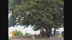 Ակների դարավոր ծառը՝ թատերաբեմ