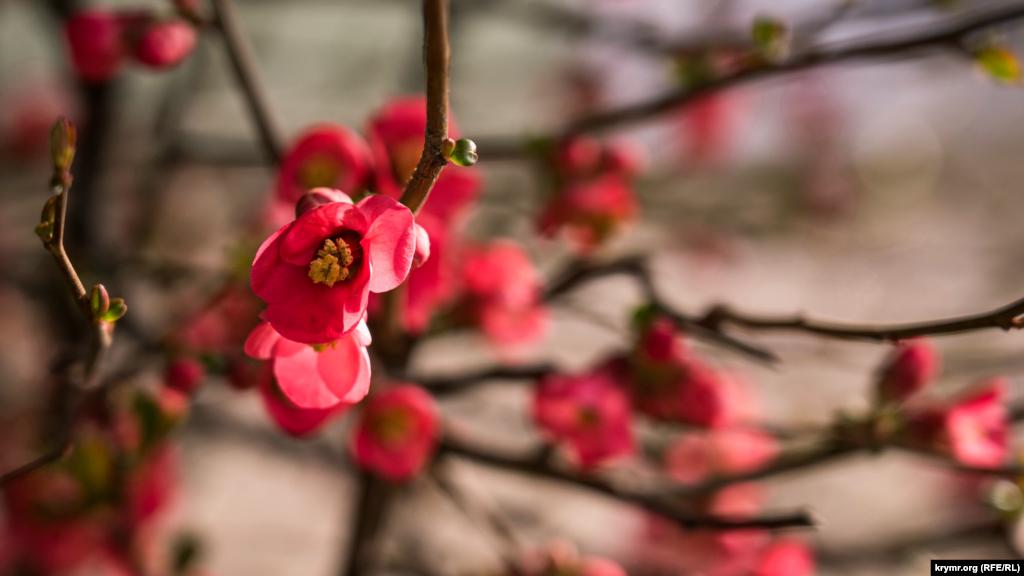 И, конечно же, айва японская или хеномелес, давно ставший украшением большинства обычных и ландшафтных парков всего крымского Южнобережья