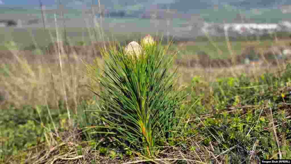 Только готовится расцвести асфоделина крымская. О ее целебных свойствах известно немногим – корни культуры обладают мочегонным и общеукрепляющим свойствами